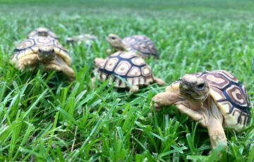 The Traveling Tortoise